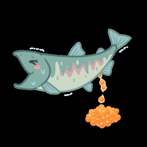 放卵するメスの鮭